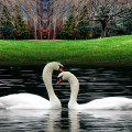 The Swan That Extreme Show and the Essence of Me