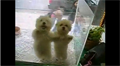Merengue-Dancing Puppies