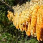 Beccaglia-Summer Corn-MainPhoto