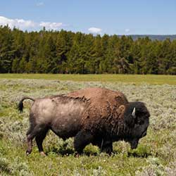 Wyoming: A Visit to the Heart of America-Buffalo