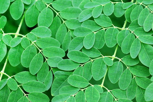 8-Reasons-Why-Everyone-is-Talking-About-the-Moringa-Tree-Photo5