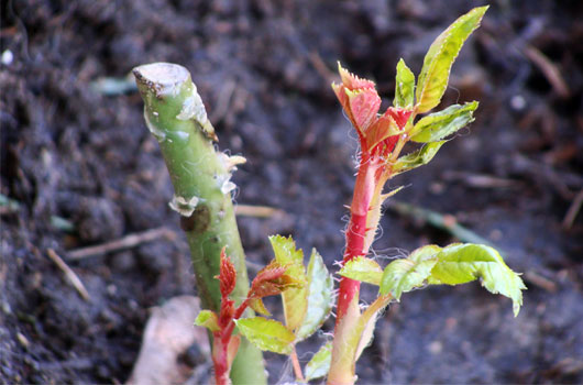 Garden-of-Eden-How-to-Graft-Your-Own-Plants-to-Grow-Some-New-Ones-Photo5